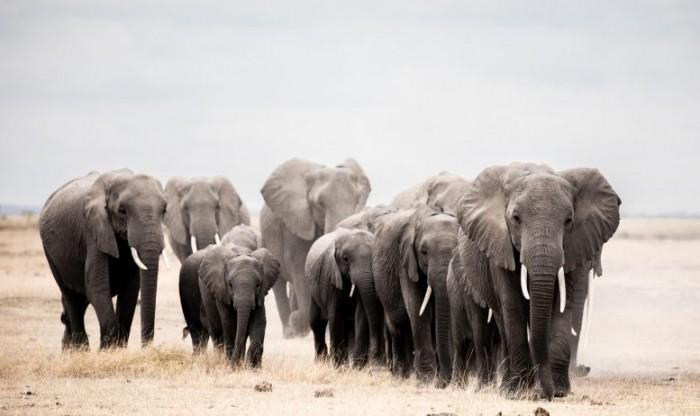 研究显示非洲大象的实际栖息地范围已经缩小到原来的17%-第4张图片-IT新视野