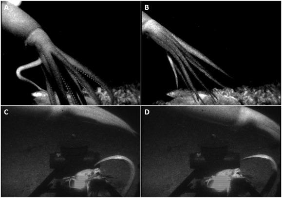 科学家首次捕捉到巨型鱿鱼攻击诱饵的画面-第1张图片-IT新视野