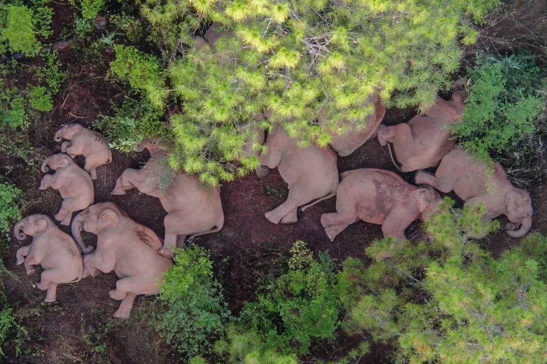 专家:云南离群小象是叛逆期到了