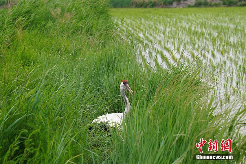 吉林莫莫格首次记录到野化丹顶鹤繁殖