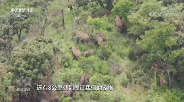 """神奇!世界大象日,""""逛吃逛喝""""17个月的象群回到了传统栖息地"""