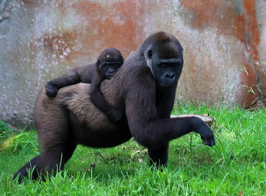 美国一动物园13只大猩猩新冠阳性