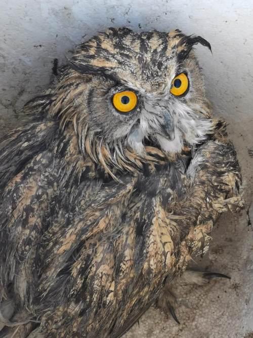 国家二级保护动物大型猛禽雕鸮(diāo xiāo)受伤,落地东港,民警对其及时救助