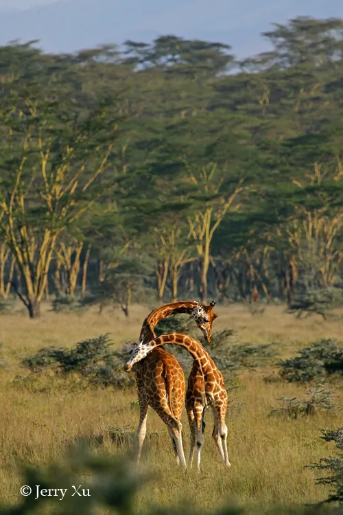 肯尼亚突发新闻:濒危长颈鹿撞高压线身亡