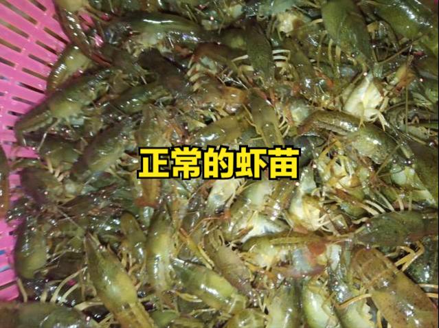 冬季和春季小龙虾虾苗身体发白不是好事?是什么原因造成的?