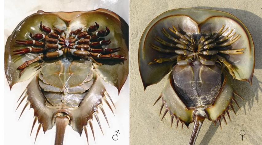 这种动物诞生于5亿年前,蓝色血液价比黄金,有人却拿它煲汤