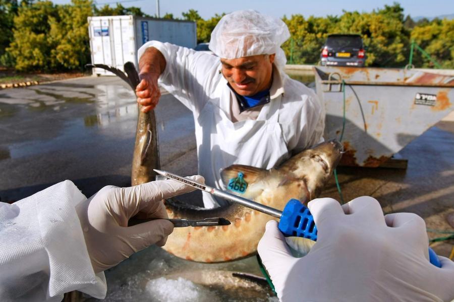 黑鱼子酱生产全过程,全程非常解压