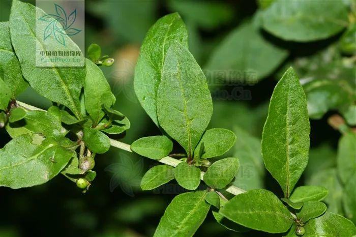 春季养肝,枸杞叶是一把好手!三种食法补肝肾明目
