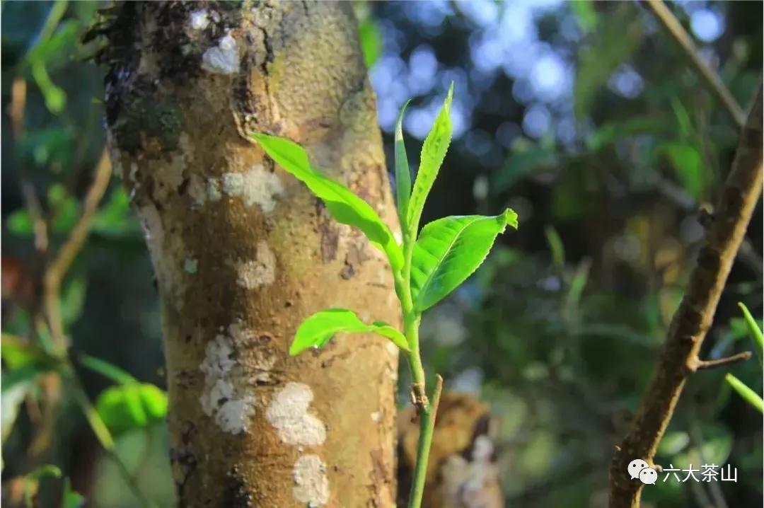 什么是景邁香?仿佛遇見那千年古寨萬畝茶林的獨特韻味