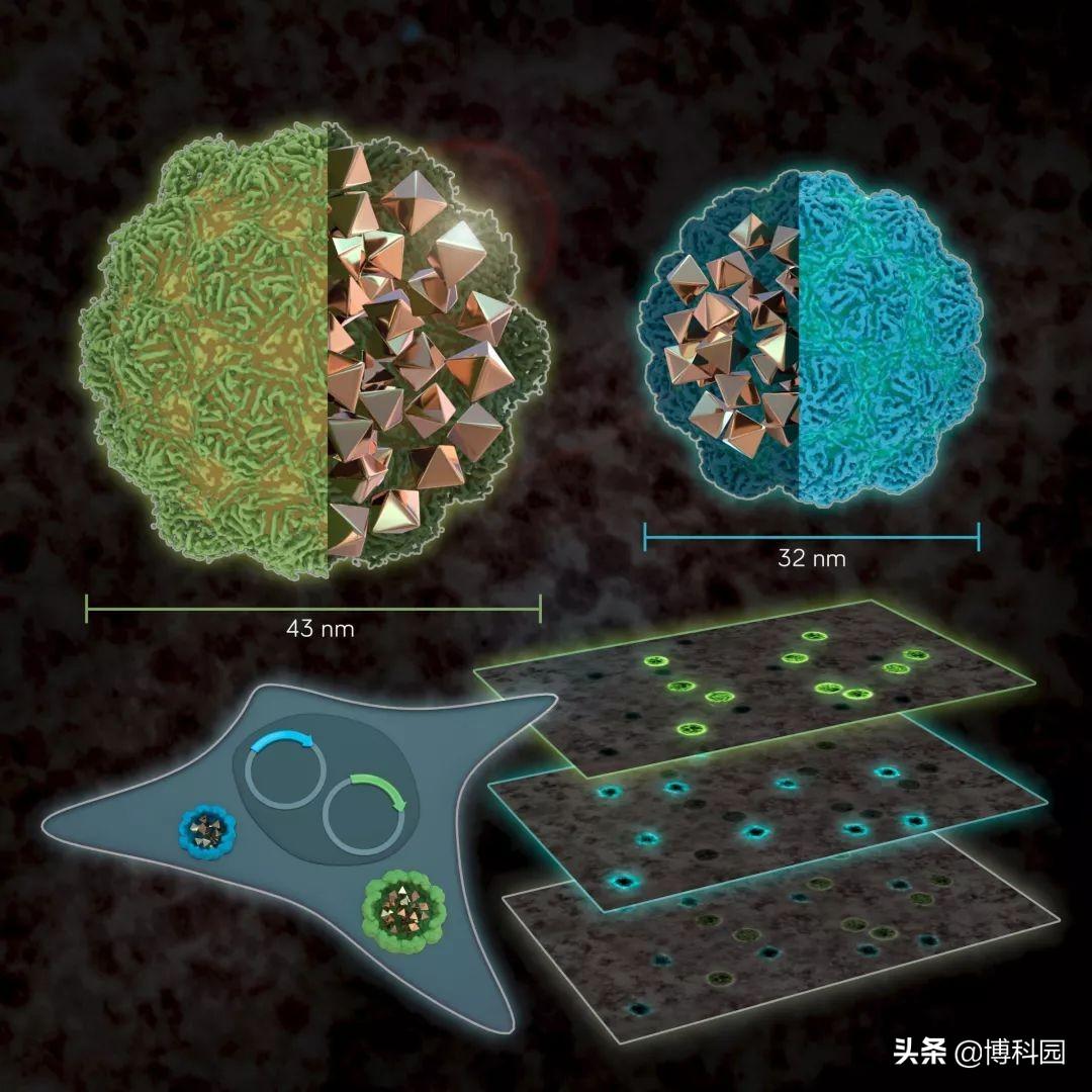 厉害了,用电子显微镜,就能观察细胞基因表达的方法