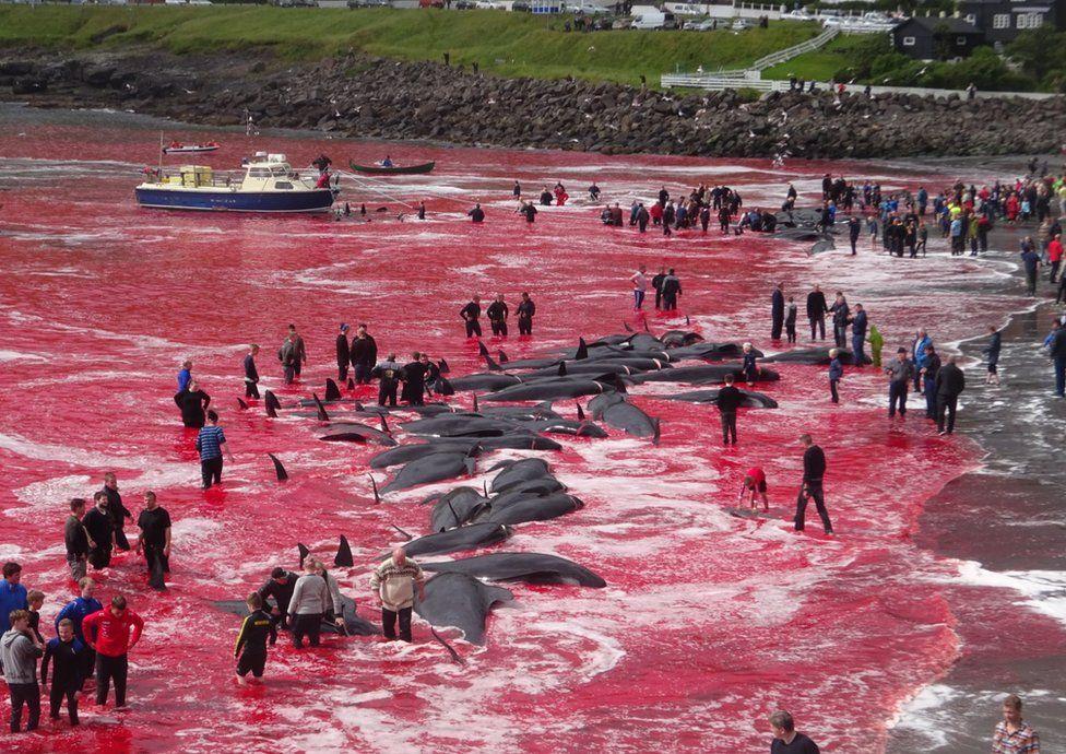 丹麦十年屠杀6500头鲸,海面血红只为过节,跟日本捕鲸有何区别?