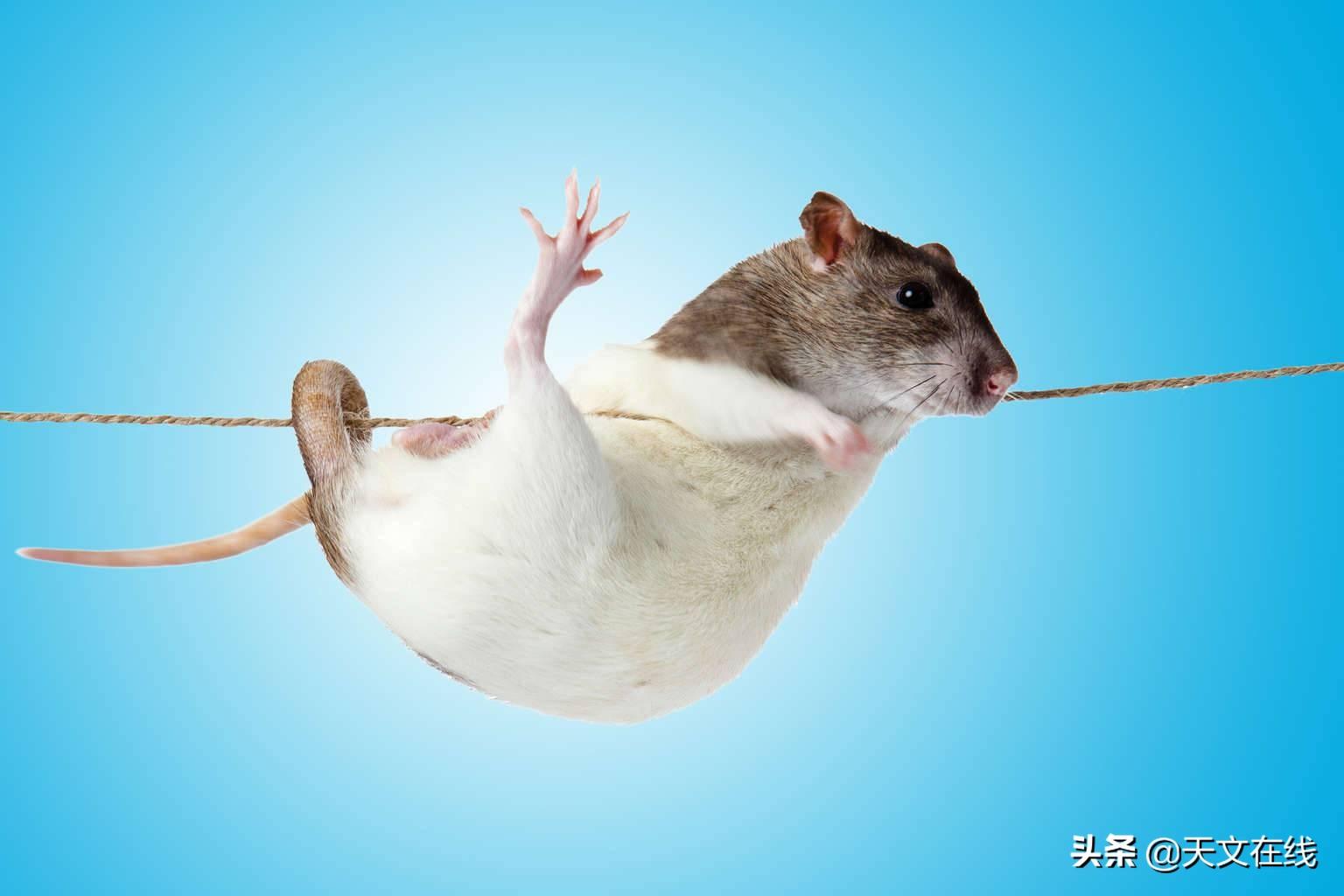 实验表明:当老鼠从太空回归后,它的免疫系统已发生改变