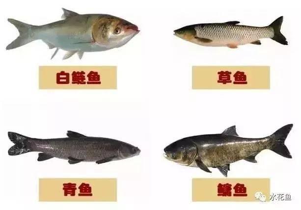 """再议鲤科鱼类的""""四大家鱼""""与""""六大鱼类"""":草鲢鳙青和鲤鲫鱼"""