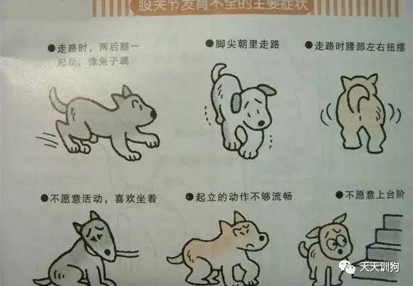 關於狗狗的髖關節問題和CHD