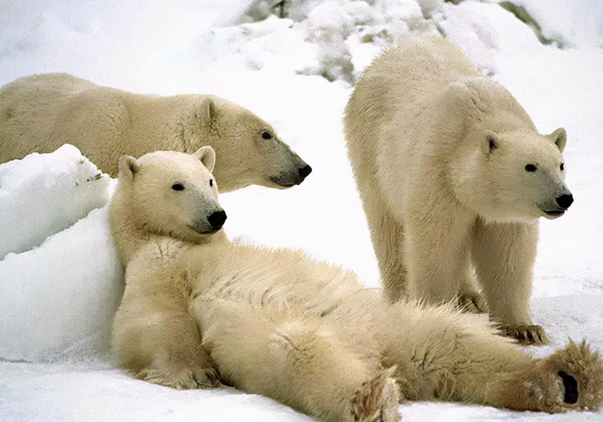 高冷观看北极熊攻略