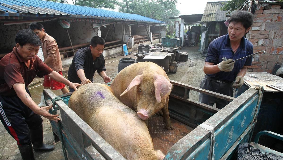 27日猪价有变,行情涨翻天,全国22省市飘红,火箭猪来袭?