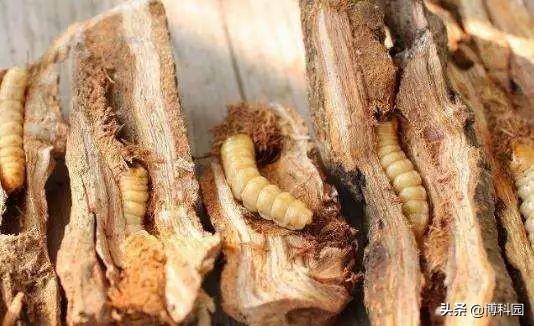 见过啃食树干中的虫吗?利用太赫兹成像技术,能减缓虫害的传播