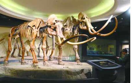 有关猛犸象的资料及化石图片02