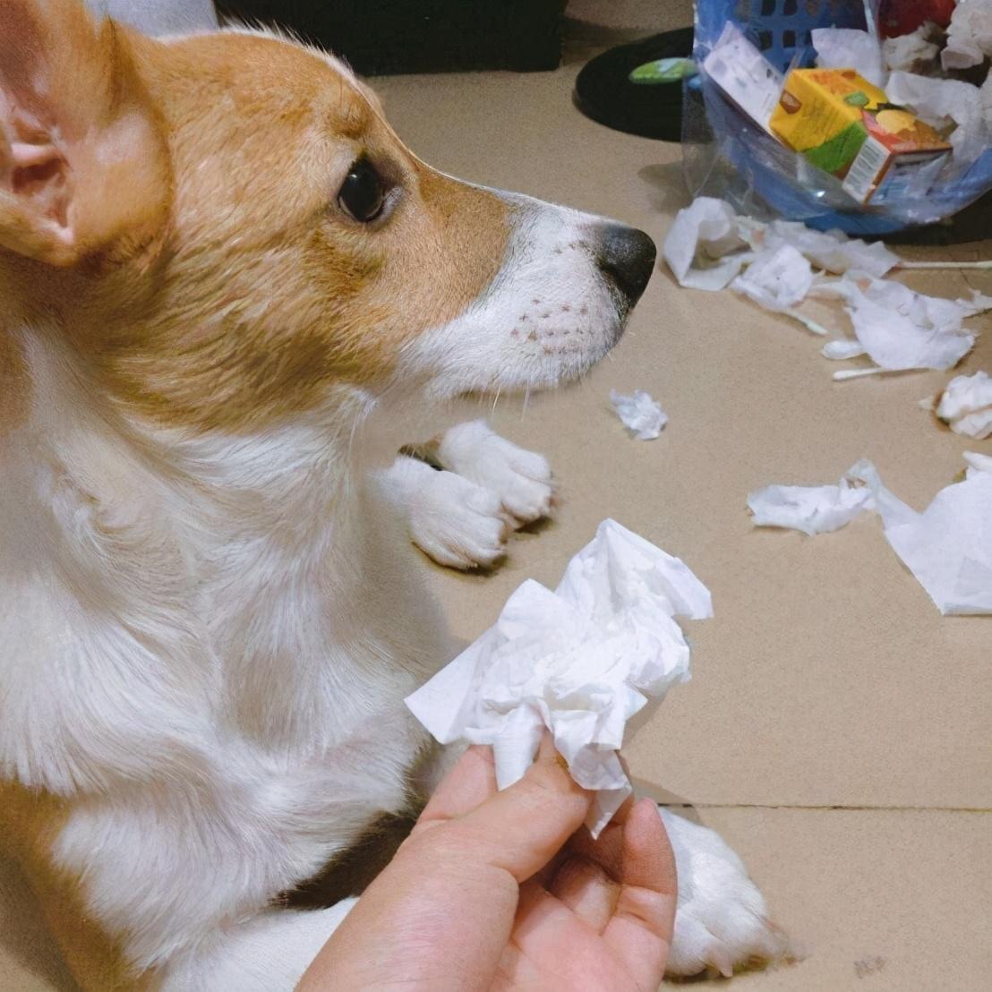 狗狗犯错后会有什么行为,真是戏精般的狗生
