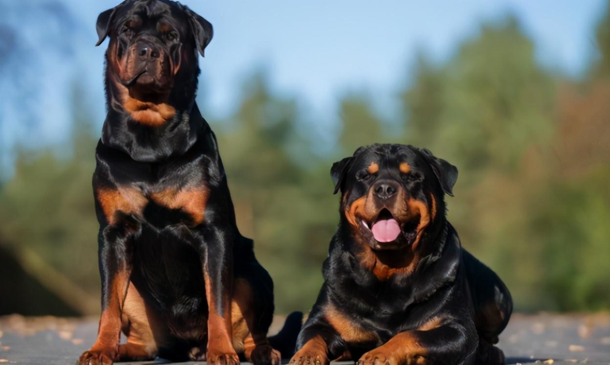 最懂主人心的6种狗狗,有危险第一时间保护主人