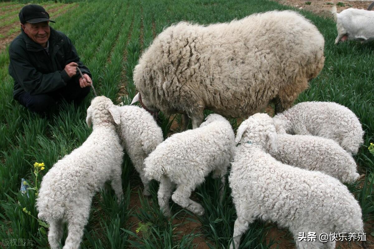 圈养羊需要注意什么(养羊了)
