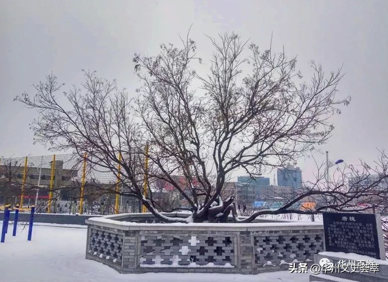 雪中的华州千年唐槐