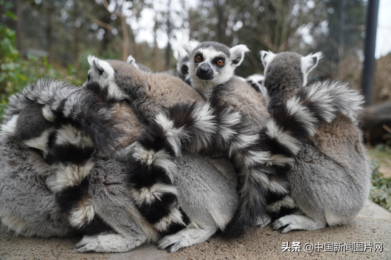 昆明迎入冬最低温 狐猴抱团取暖