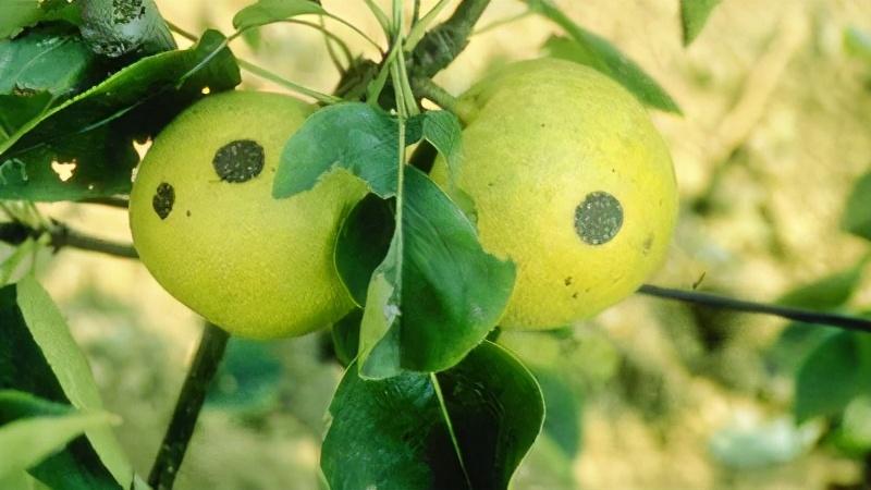 梨子表面出现黑色病斑?搞清楚发病规律,及早防控很有效