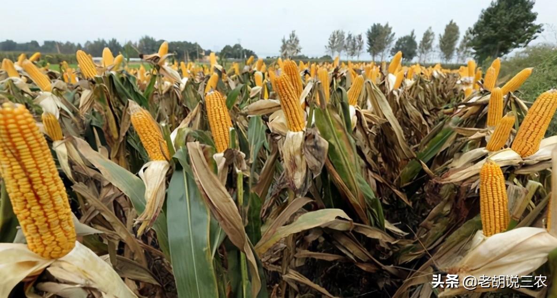 """農村俗語:""""玉米割掉兩次頭,糧價再低也不愁"""",這是咋回事?"""