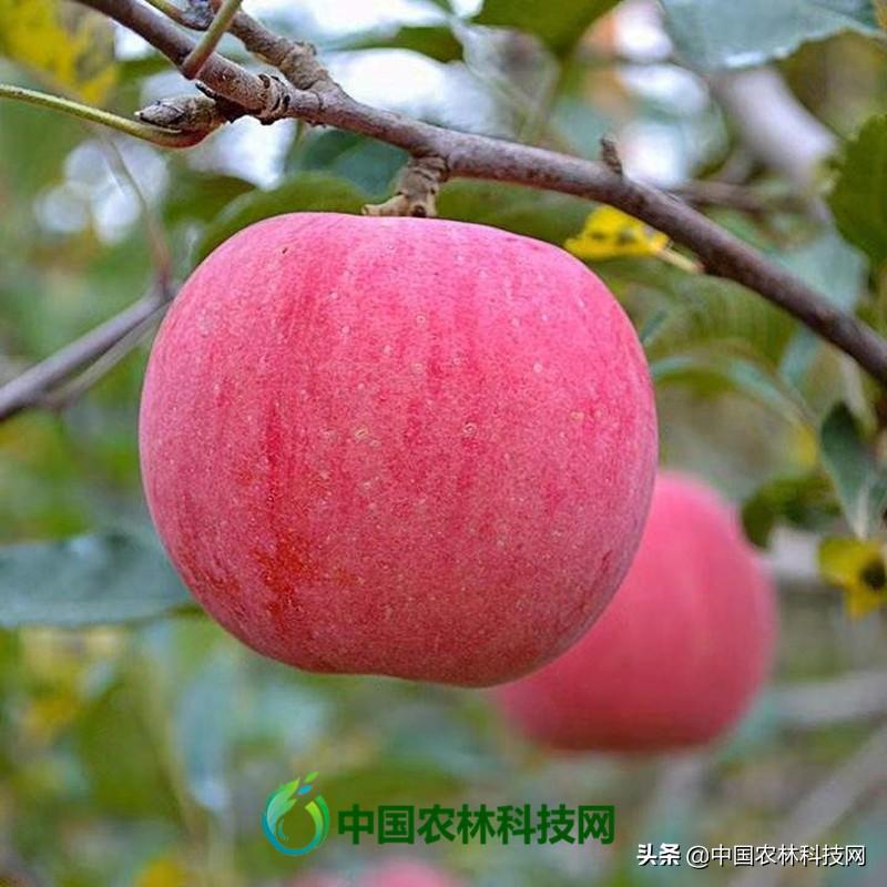 涨姿势啦!未来几年最具发展潜力的苹果品种大盘点