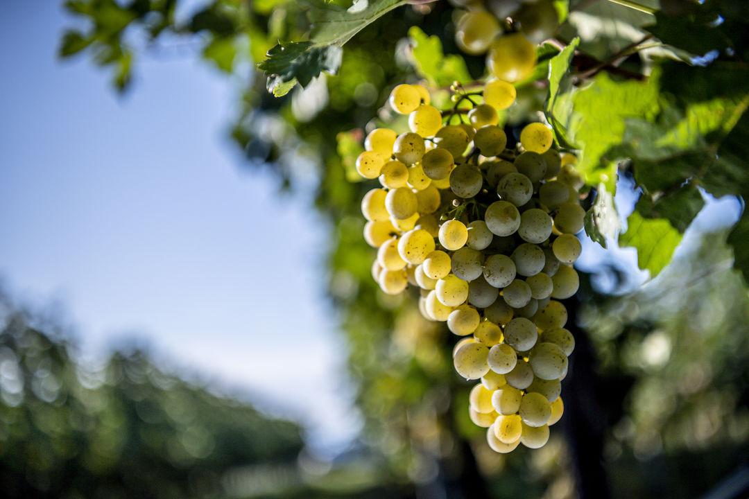 一文了解奥地利葡萄酒