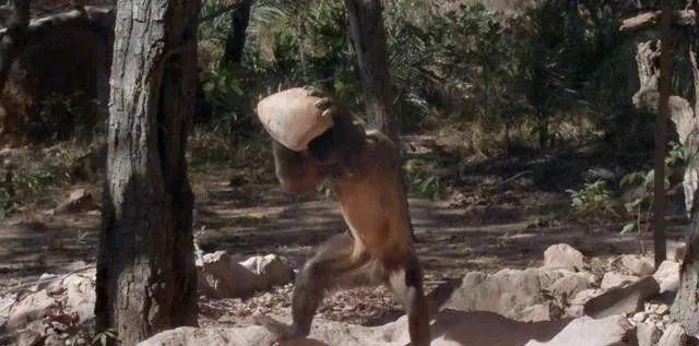 巴拿馬的猴類進入石器時代,科學家感到擔憂,它們會變新型人類嗎