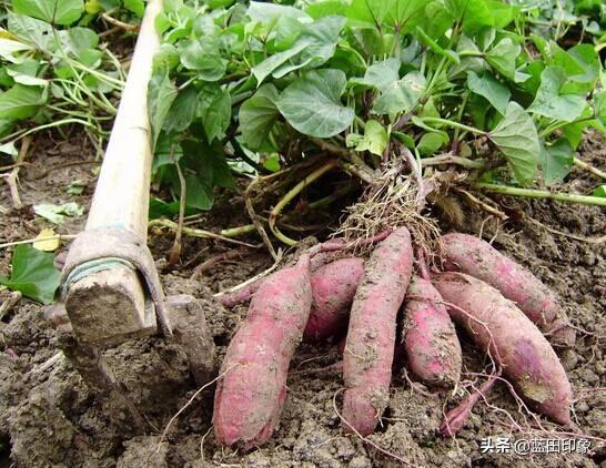 陕西栗子红薯为何近几年名声非常大,其实是这样的,你可能不知道