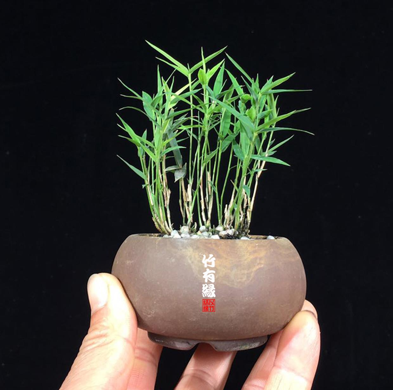 难以置信!世界上居然有这么小滴竹子