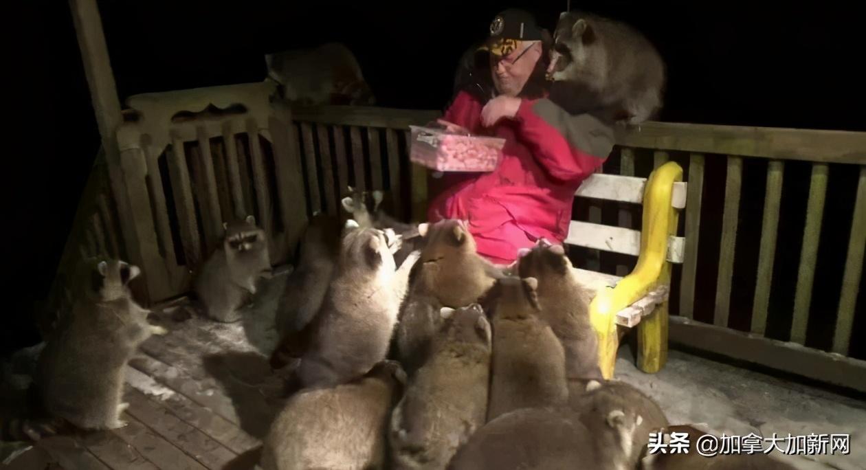 加拿大退休警察被20多只浣熊堵门 投喂场景爆红网络