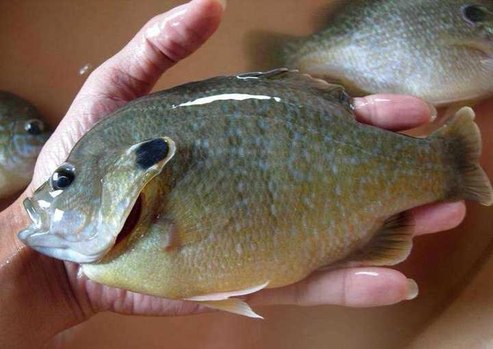 我国多地出现美洲太阳鱼!此鱼已在日本灭了鳑鲏,吃货们快来狙击