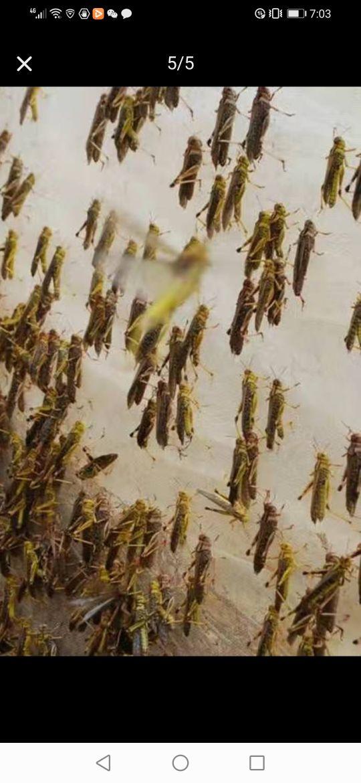 土鸡最爱吃的虫子之一,蚂蚱养殖技术介绍