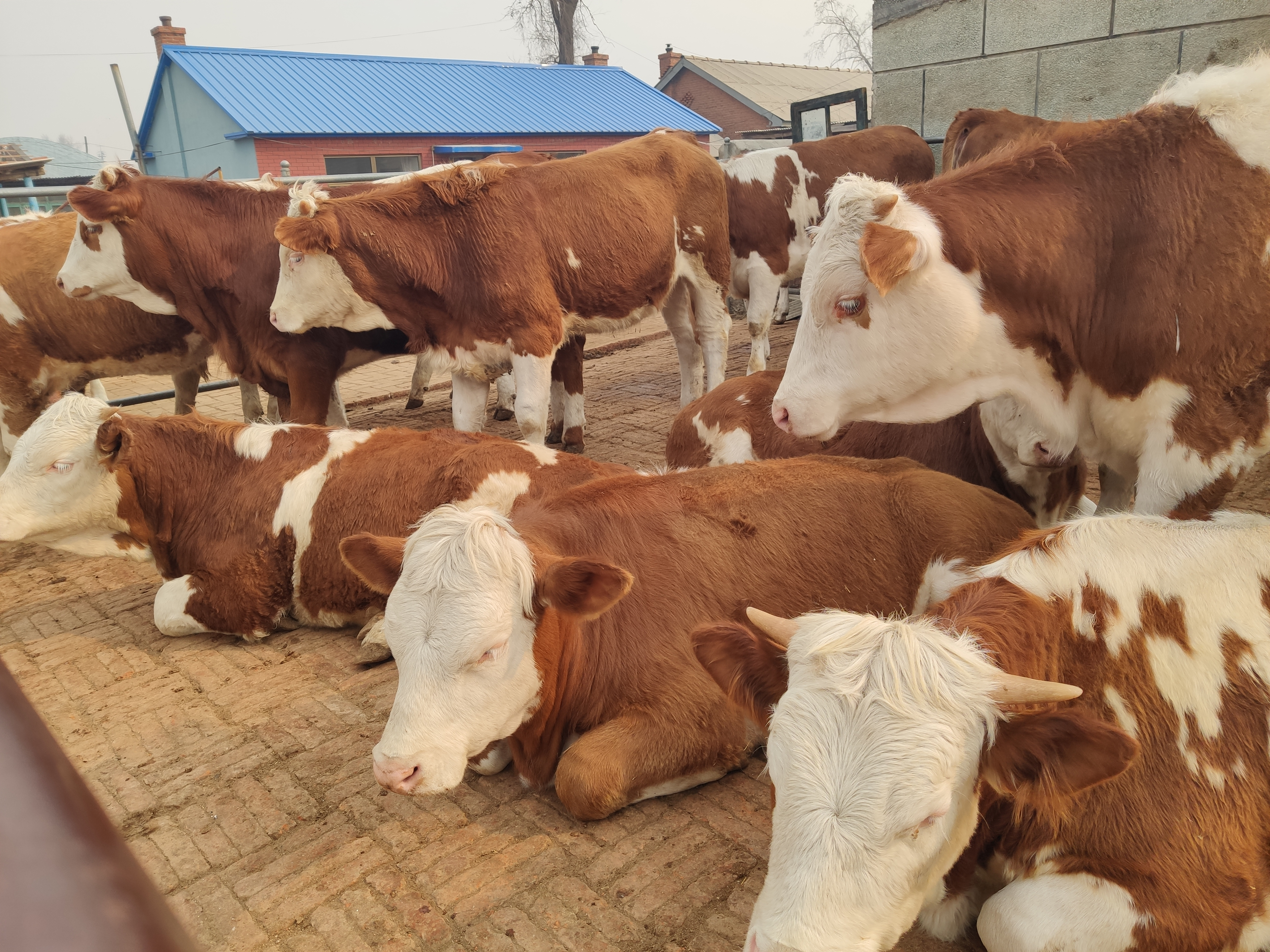 養牛行業的大變化:以前有錢人看不起,到現在很多人集中涌入