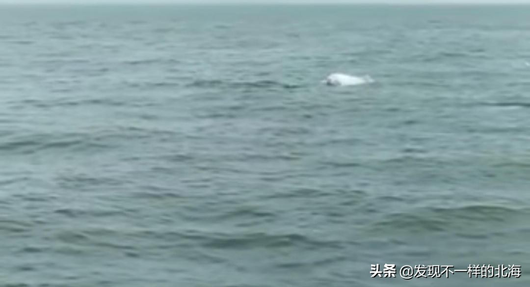 """北海市海域又惊现成群海豚在""""游泳"""""""