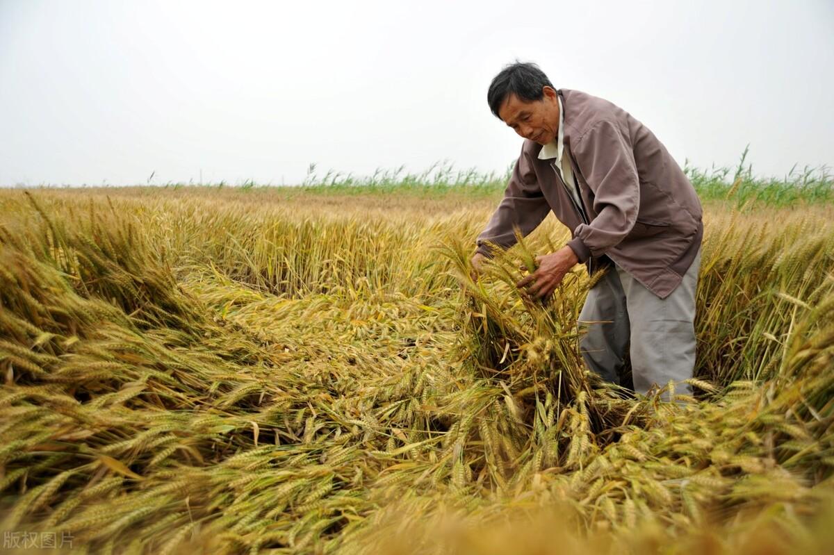 小麦丰收,粮贩抢收,价格一天比一天高,卖不卖?危险预警