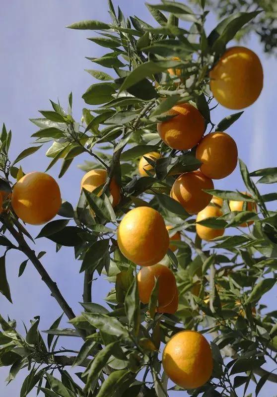 橘子红了!这个周末等你来摘~