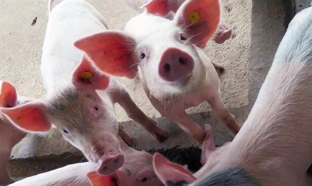 """市场突然""""变脸"""",猪肉要跌了吗?"""