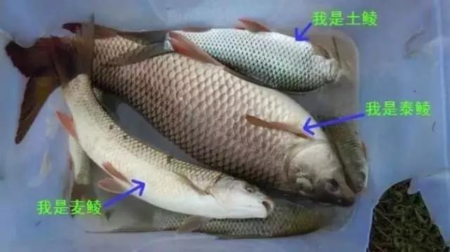 鲮鱼:耐低氧、耐肥水、像鲴鱼和白鲢鱼一样是池塘里的清道夫