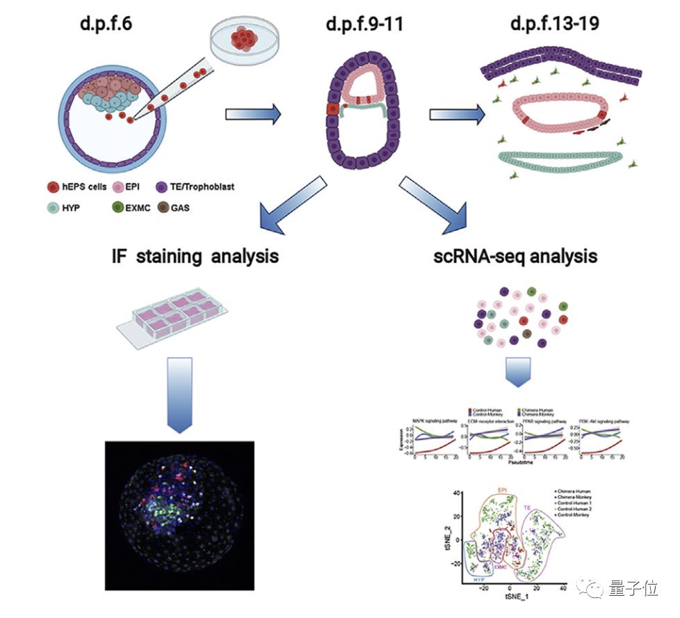 "Cell:人猴""杂交""胚胎可存活,人类细胞占比高,中国科学家参与"