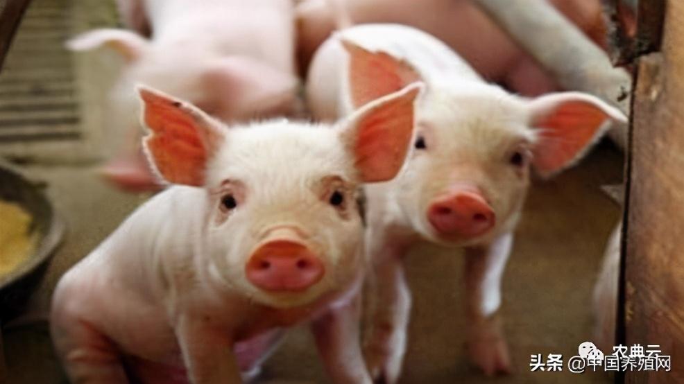 仔猪诱食应该如何操作?