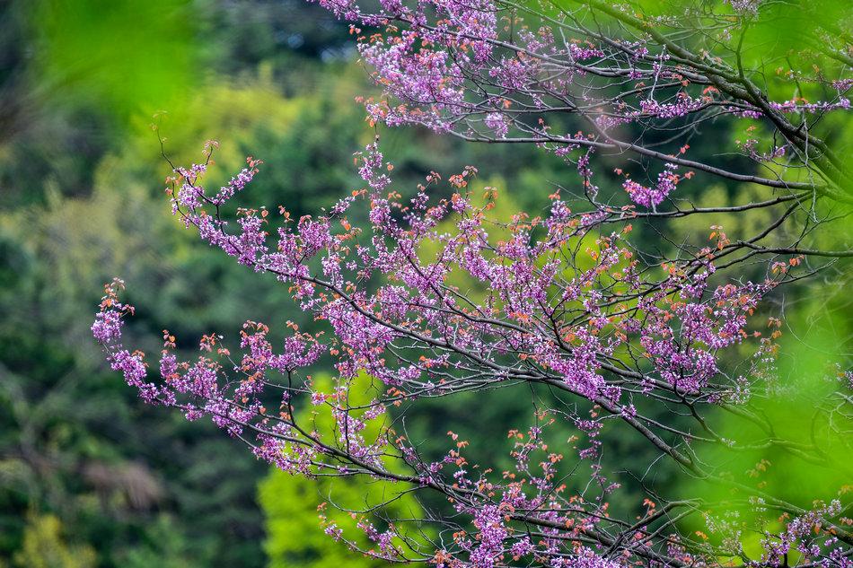 麦积山植物园春花争艳
