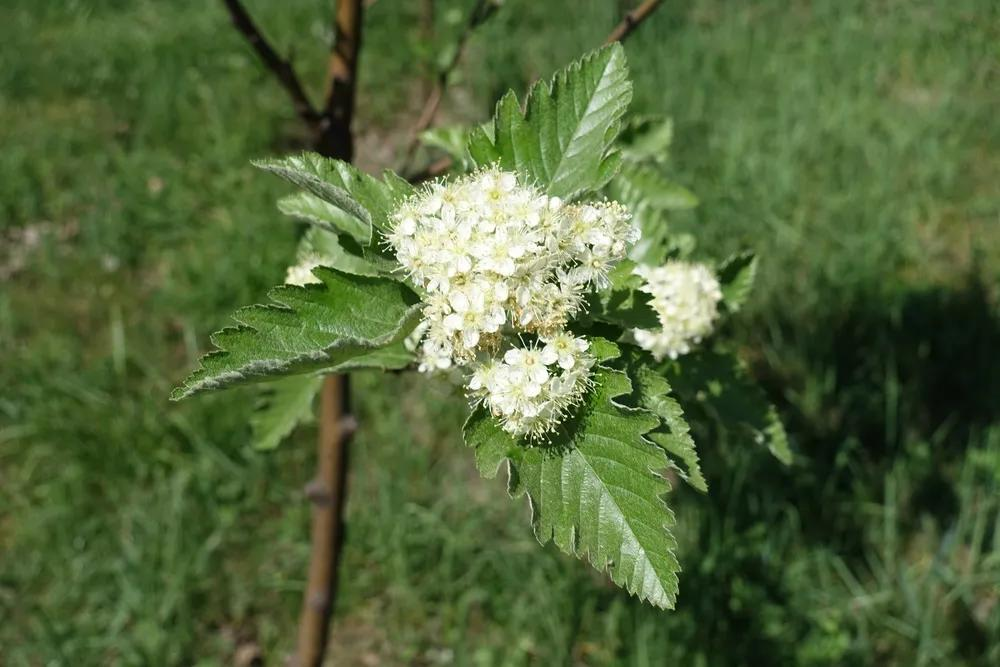 【网络辟谣】石楠花有类似精液的气味,因为有相似的挥发性成分