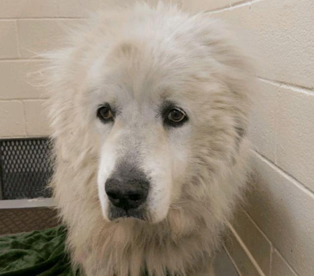 """老狗陪伴家庭12年,却因""""痴呆""""被扔在公园,它的一生终是错付"""