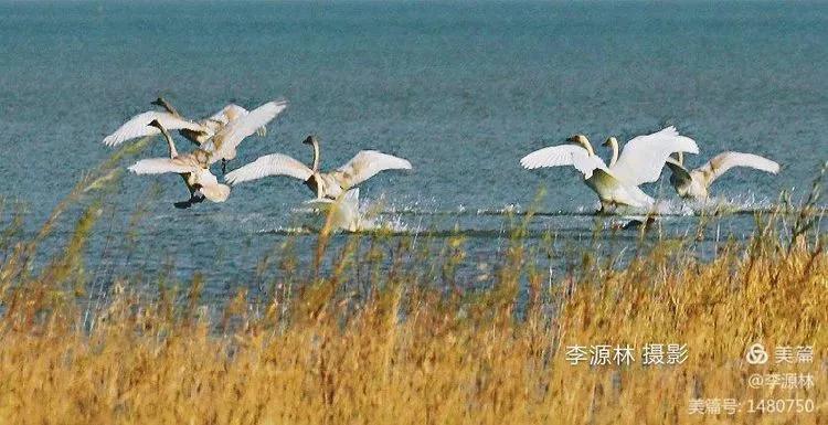 寒烟轻笼,白鹤戏水,民勤石羊河国家湿地公园宛如仙境一般