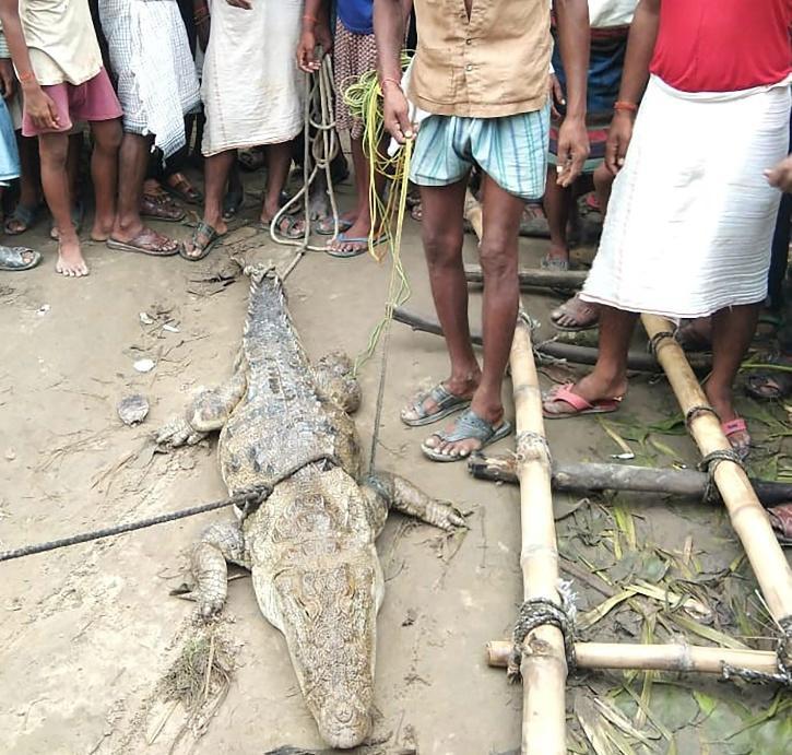 """不老实!印度村民解救鳄鱼后变脸,将其""""绑架""""让政府交""""赎金"""""""